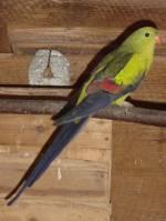 Papoušek horský