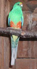 Papoušek mnohobarvý